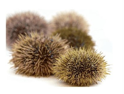 Green_Sea_Urchin
